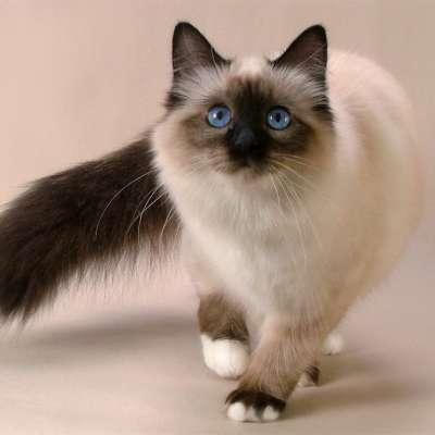 Священная Бирма, или Кошка, которая гуляет сама по себе. Священная Бирманская кошка
