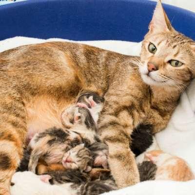 Признаки мастита у кошки