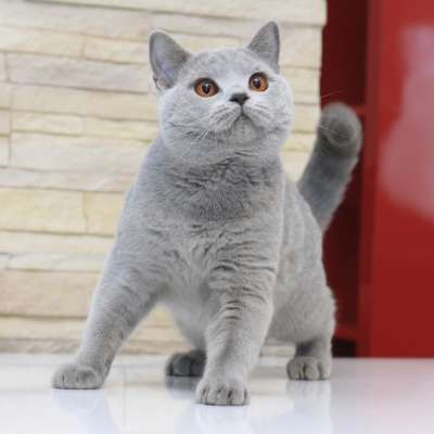 Кошки породы британец