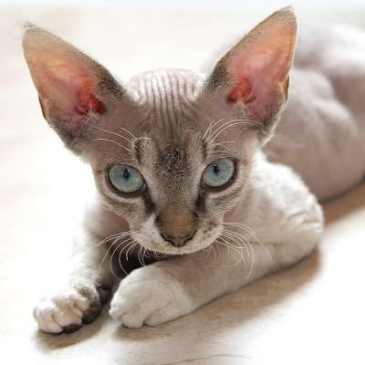 Девон-рекс – фото кошки, описание особенностей и характеристика породы девон-рекс