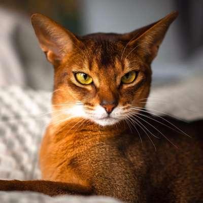 Абиссинская кошка — абиссинка
