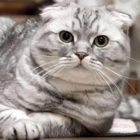 кошки скоттиш фолд фото