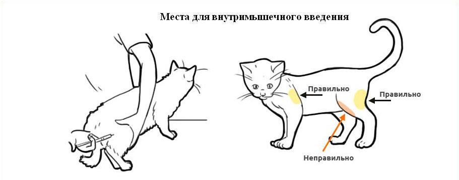Колоть лекарство необходимо в среднюю заднюю часть бедра или плечо кошки