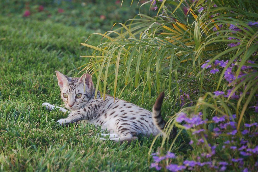 Котенок оцикета лежит в траве