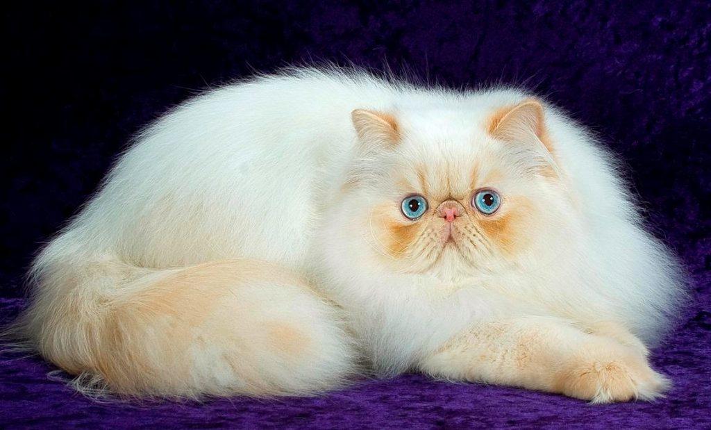 persian-cat-1024x619.jpg