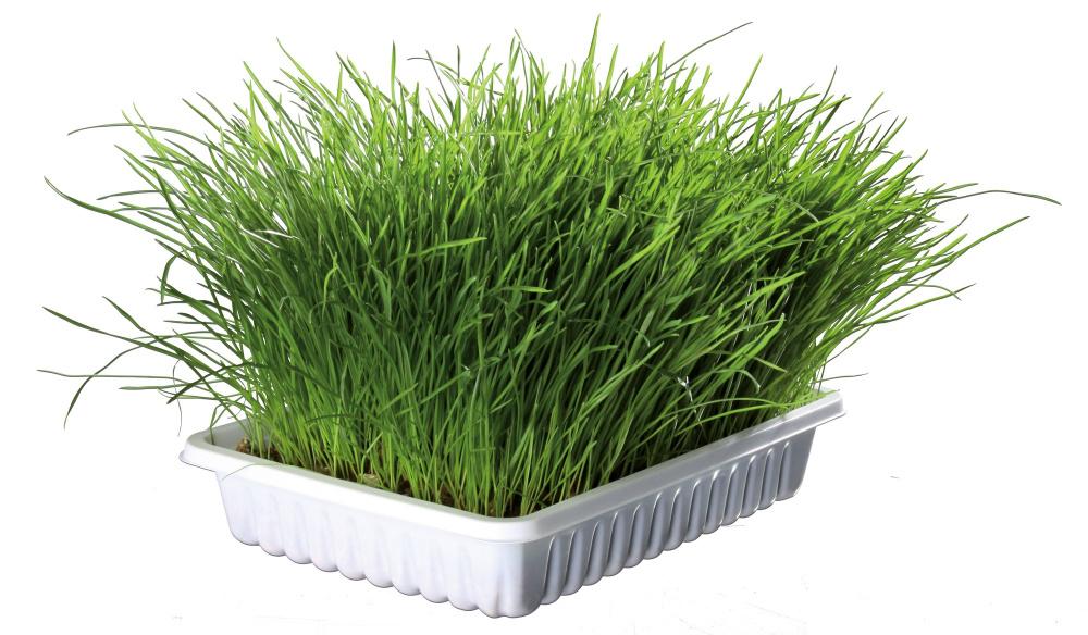 Трава для кошек.jpg