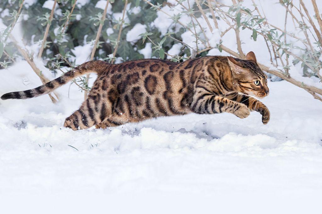 Бенгальская кошка розетка на золоте фото.jpg