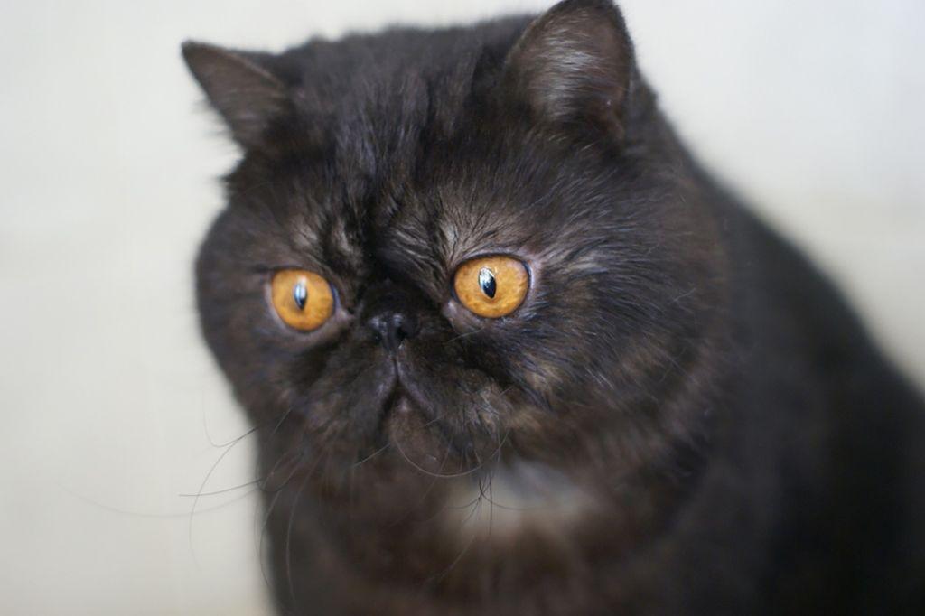Короткошерстный экзотический кот.jpg