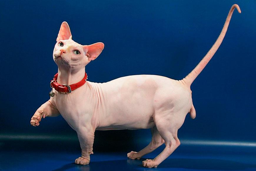 Лысый котик породы бамбино фото.jpg