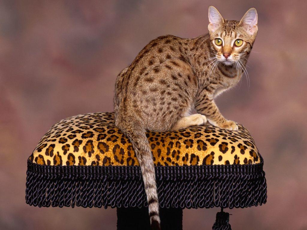 Фото кошки породы оцикет