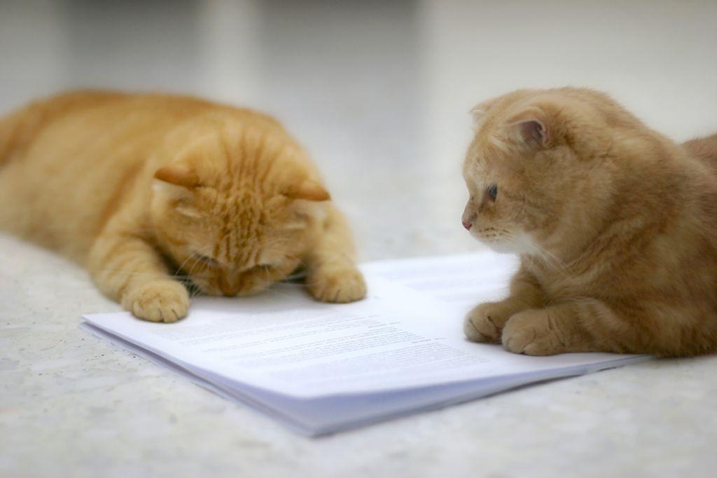 Котики породы манчкин.jpg