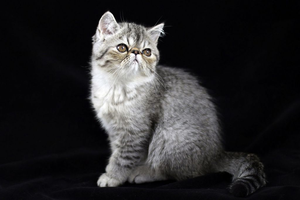 Кот экзот.jpg