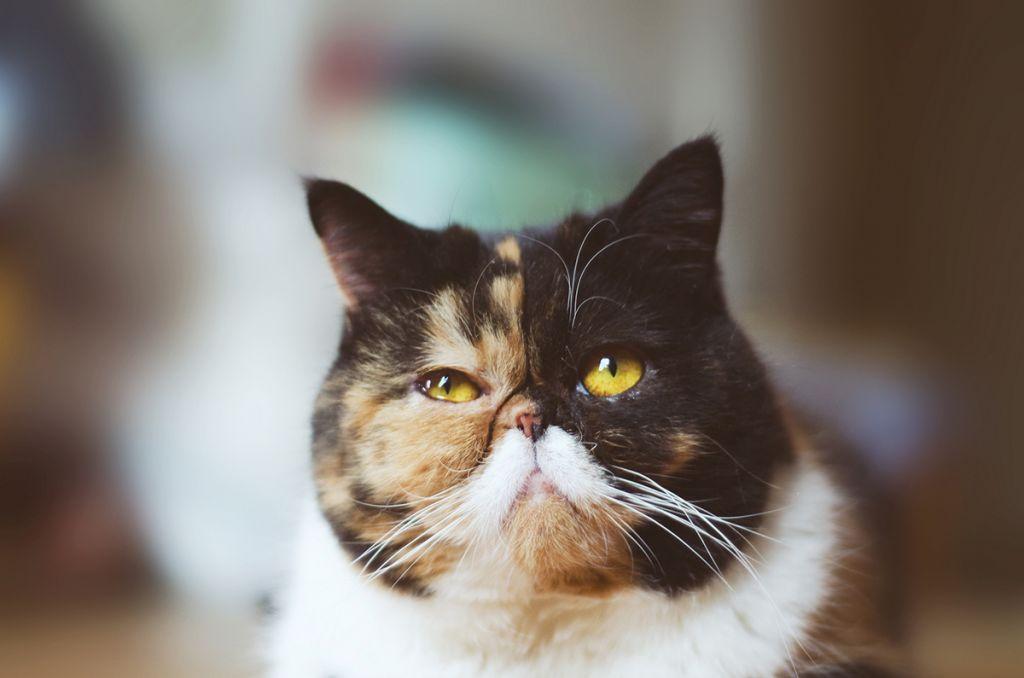 Кошка экзот.jpg