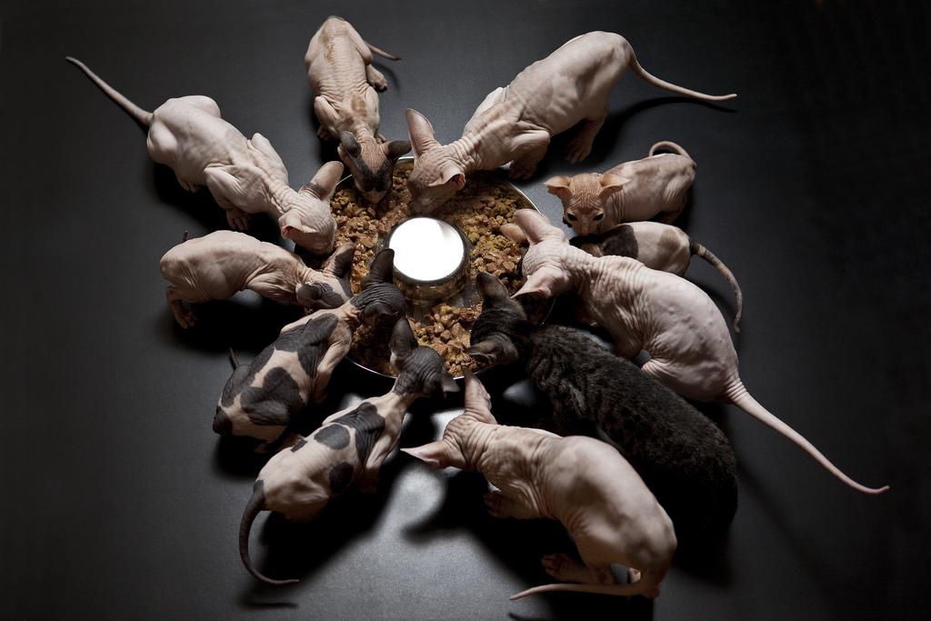 Кормление лысых кошек фото.jpg