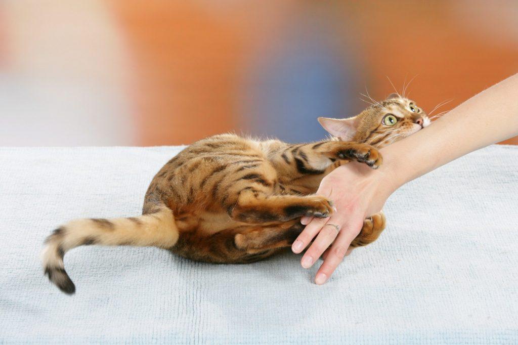 кошка кусает и царапается.jpg