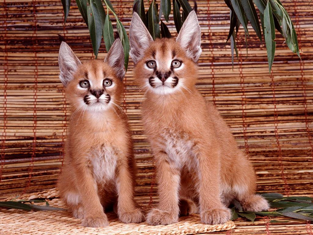 Котята каракалы