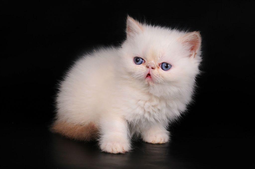 Экзотический короткошерстный котёнок.jpg