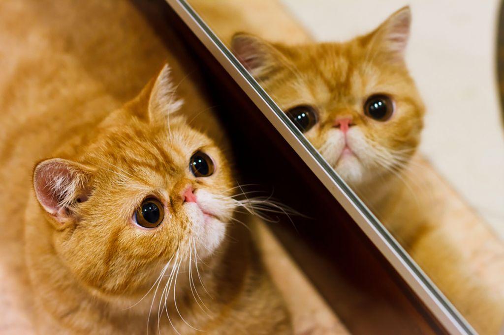 Фото экзотической короткошерстной кошки.jpg