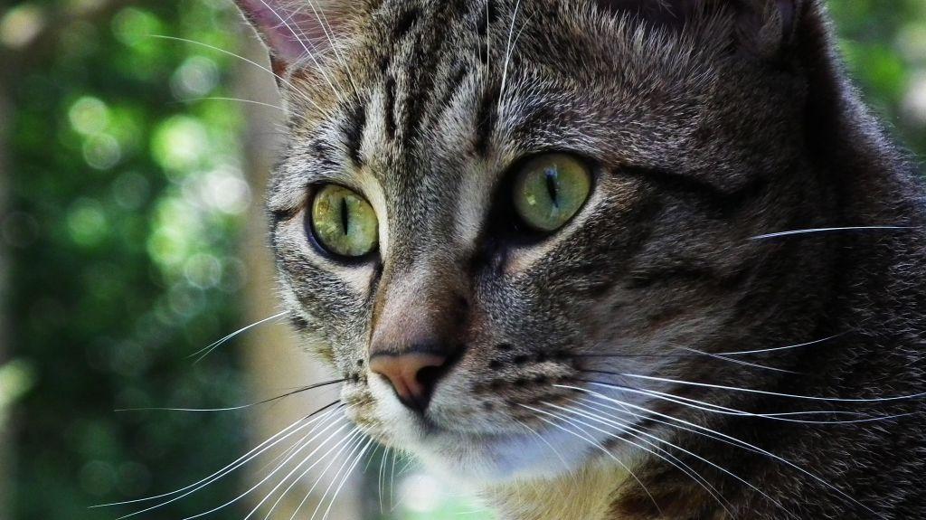 Морда кошки оцикет