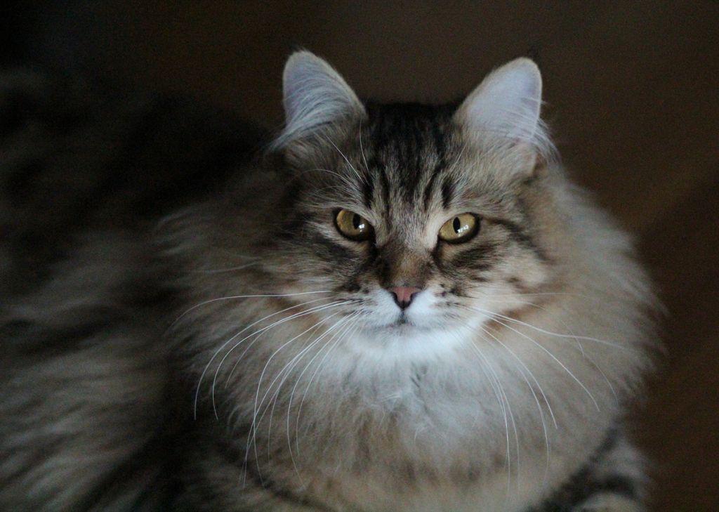 Фото сибирской кошки.jpg