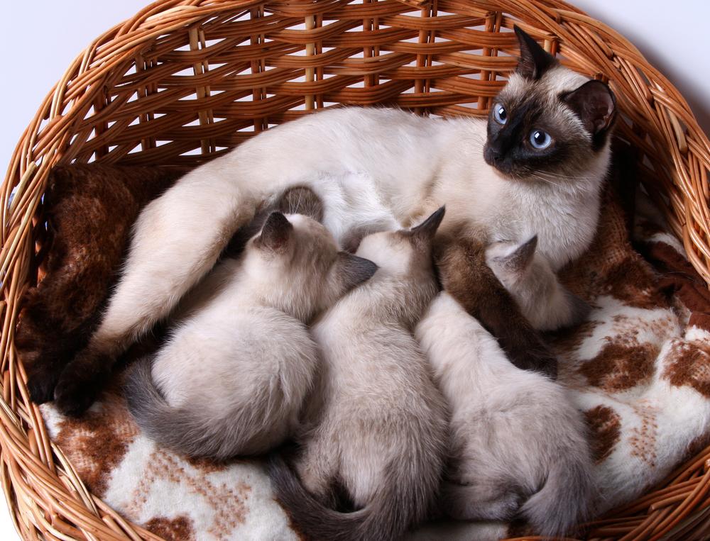 Кормящая кошка в уютном лежаке.jpg
