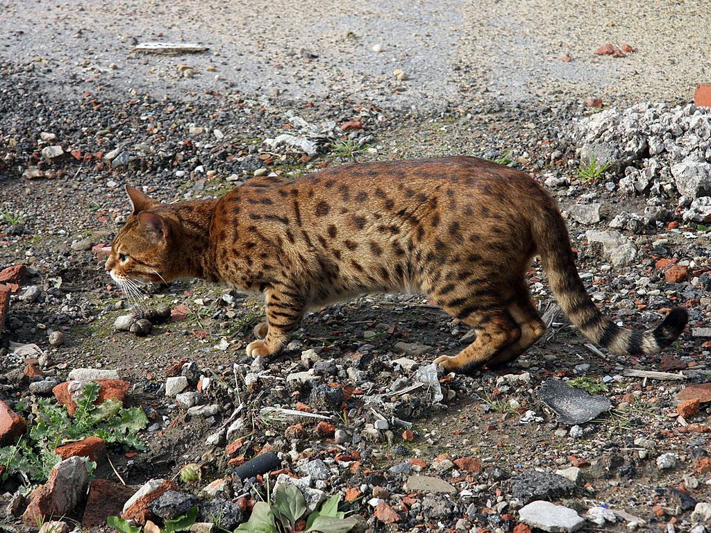 Фото кота оцикета