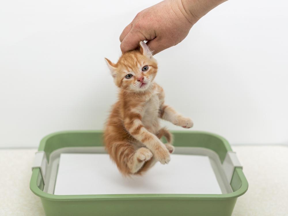 Так не стоит приучать котёнка к лотку.jpg