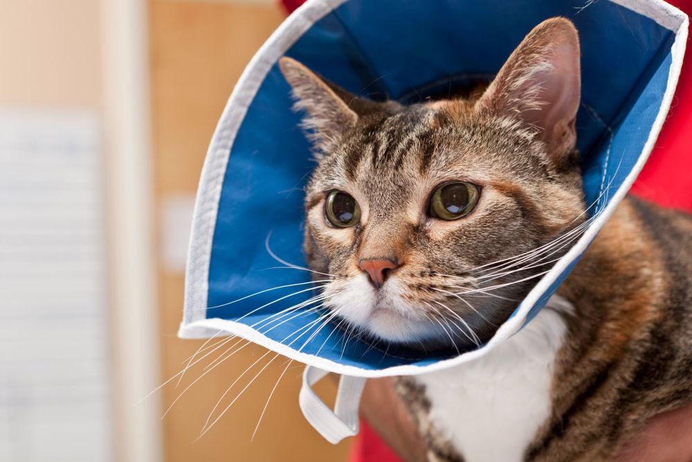Весь период лечения кошка должна носить защитный воротник, чтобы не расцарапывать глаза