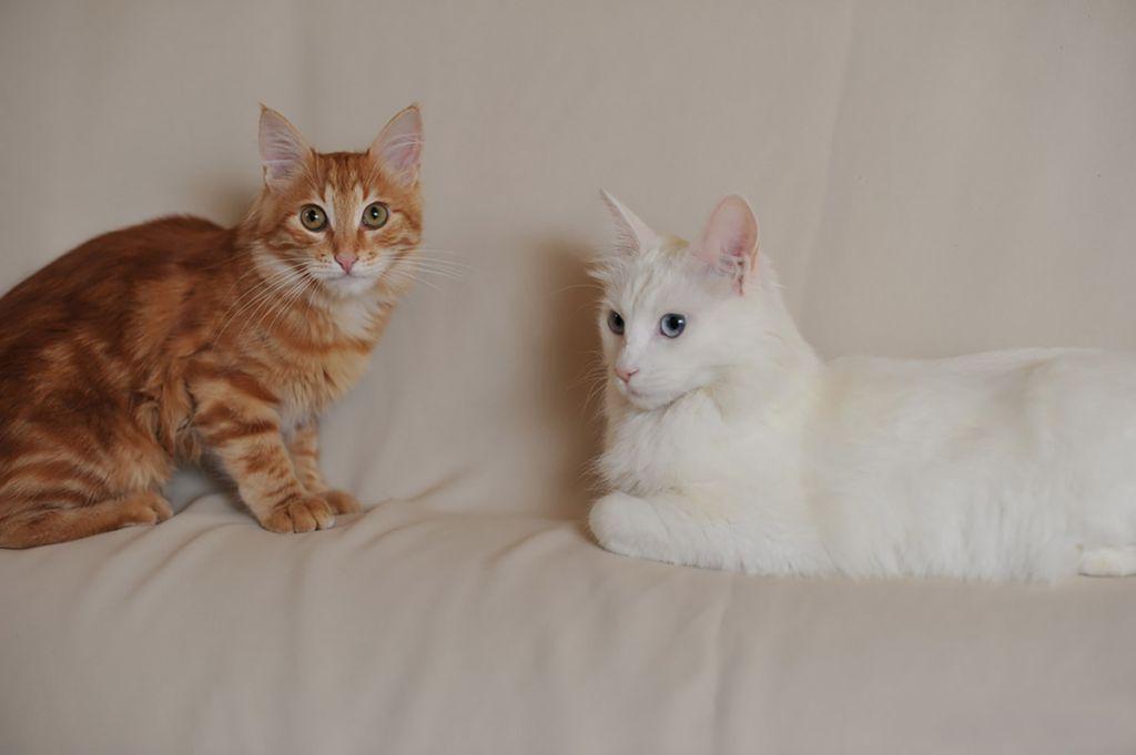 Белая и рыжий табби кошки турецкой ангоры.jpg