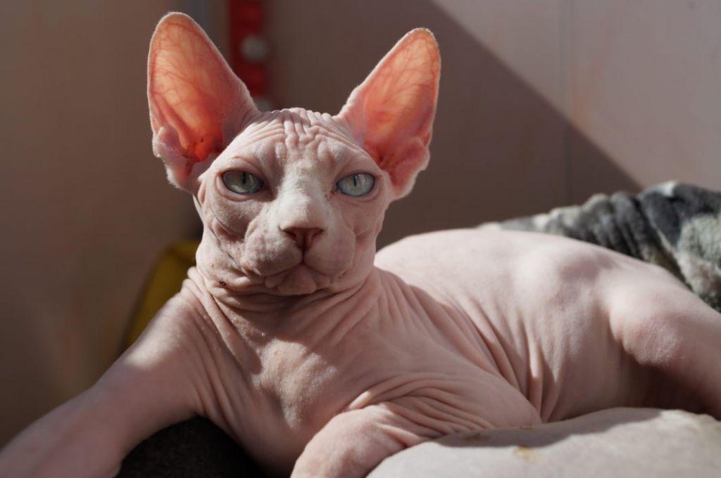 Канадская лысая кошка фото.jpg