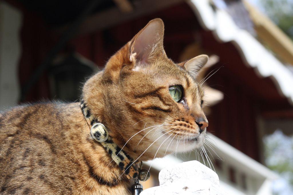 Домашняя бенгальская кошка фото.jpg