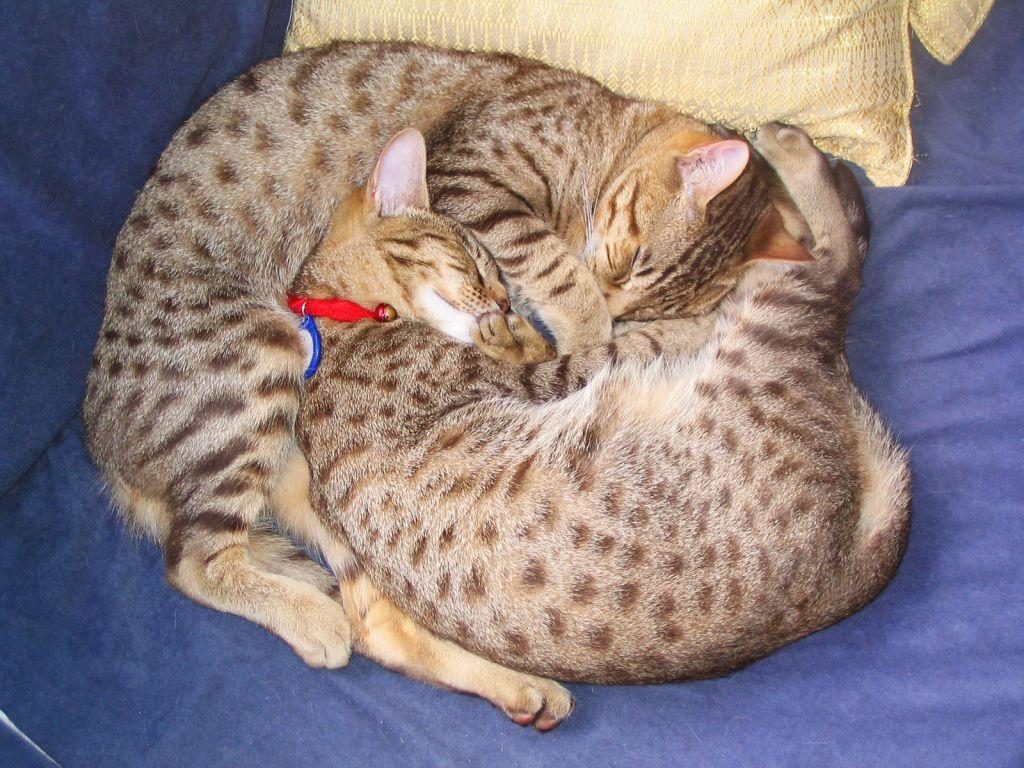 Кошечки оцикеты