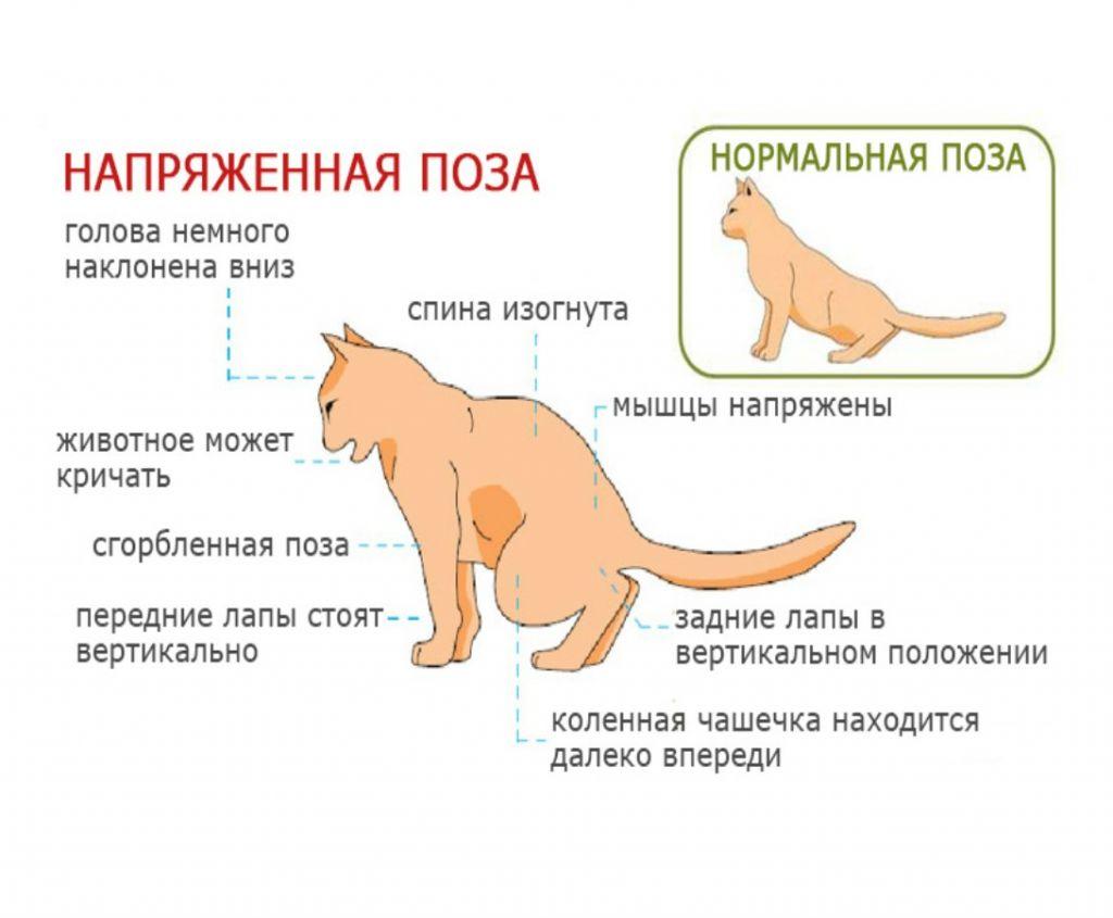 У больного кота меняется поза при мочеиспускании, фото https://animalhome.ru