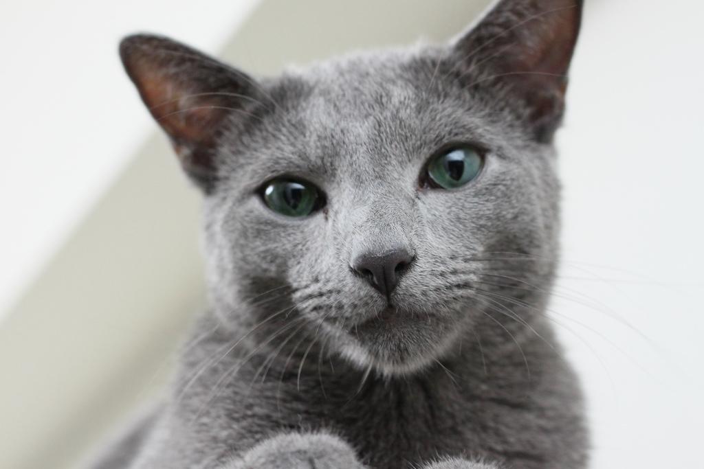 Русская голубая кошка фото.jpg