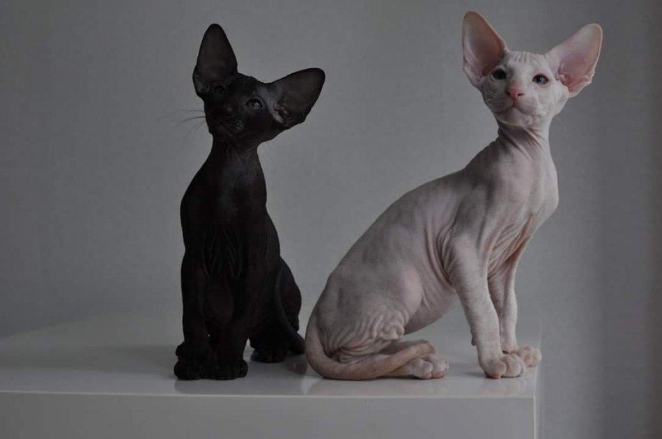 Светлая и черная лысая кошка петерболд.jpg